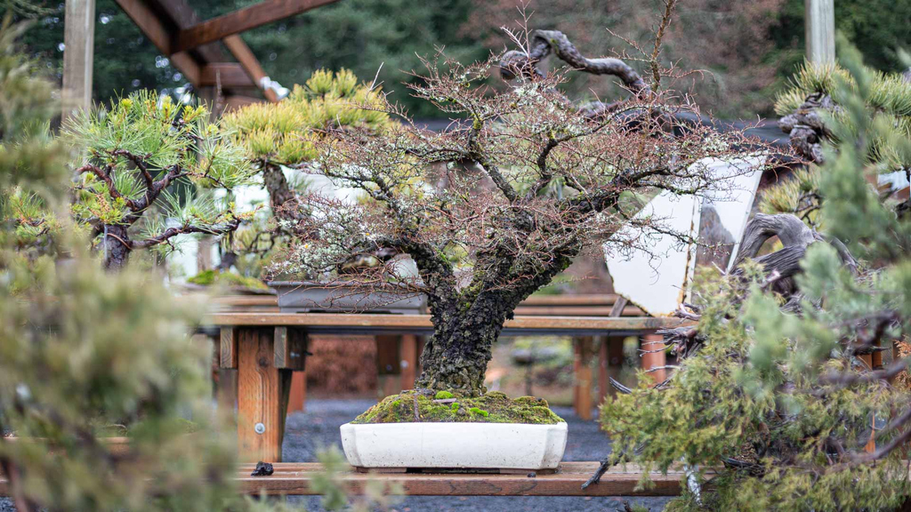This week on #mirailive: Chinese Elm Wiring. Build your skills in deciduous wiring techniques to enhance the appearance of age, and maximize your trees' elegance & beauty. Tonight, 6pm PST, live.bonsaimirai.com.