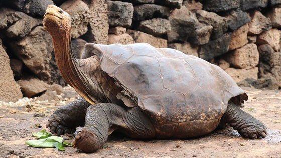 ⬜️100歳を過ぎてから800頭以上の子孫を残して自らの種の絶滅をたった1匹で救ったガラパゴス諸島に生息するエスパニョーラゾウガメ「ディエゴ」の現役引退が発表されました CNNやガーディアンなどの大手報道各社が、ディエゴの引退を惜… https://t.co/VH4E0aO8iE