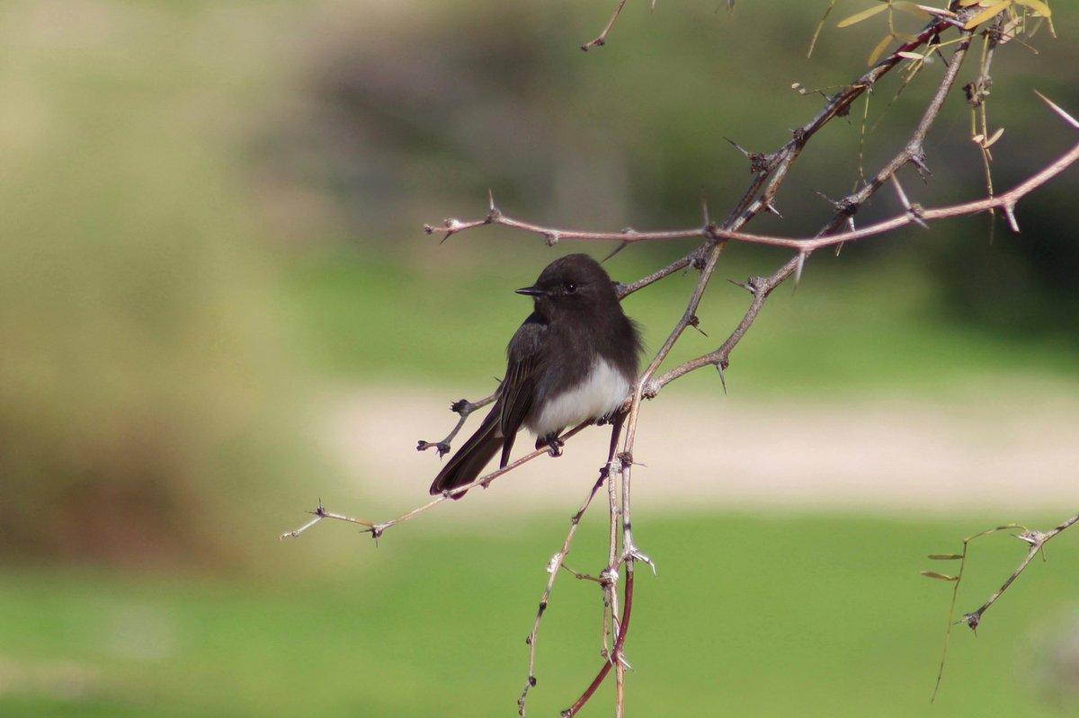 Some flycatchers from SE Arizona — black phoebe, vermilion flycatcher, Cassin's kingbird, greater pewee