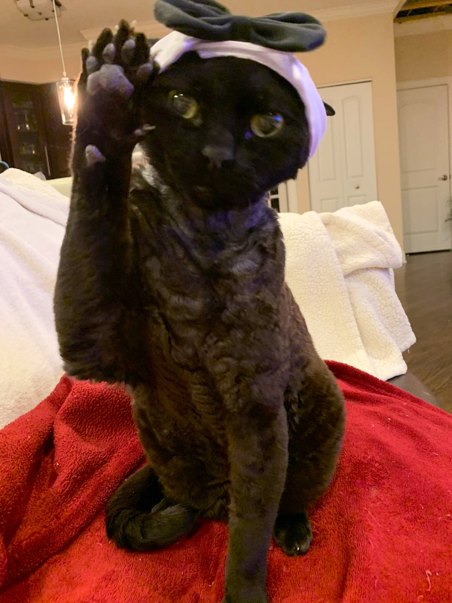 Apparently, it's  #NationalDressUpYourPetDay. Put Max's tuxedo tie on his head and there you go    #MaxTheCat<br>http://pic.twitter.com/TaQSWGNuwL