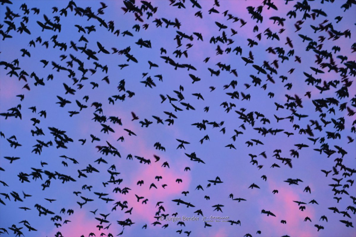 """Moin ... ... ALLEN ein gutes neues Jahr! Eine """"sort sol"""" habe ich ja schon oft aus der Ferne beobachtet ... aber sich mit den Vögeln, zum greifen nah, den """"Schlafplatz"""" zu teilen ist doch ein ganz anderes Erlebnis #naturfotografie pic.twitter.com/fll3khQgn8"""