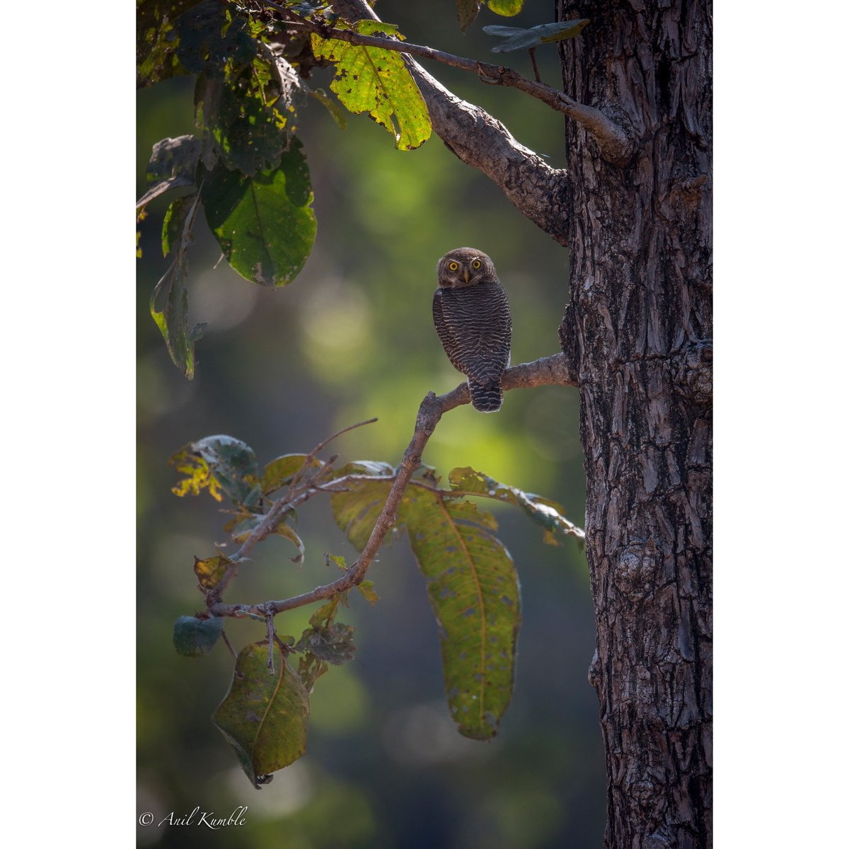 Can't hide behind my back. Snapped the Jungle Owlet  in #Kabini. #WildlifeWednesday @SonyAlpha #sonyalphaindia