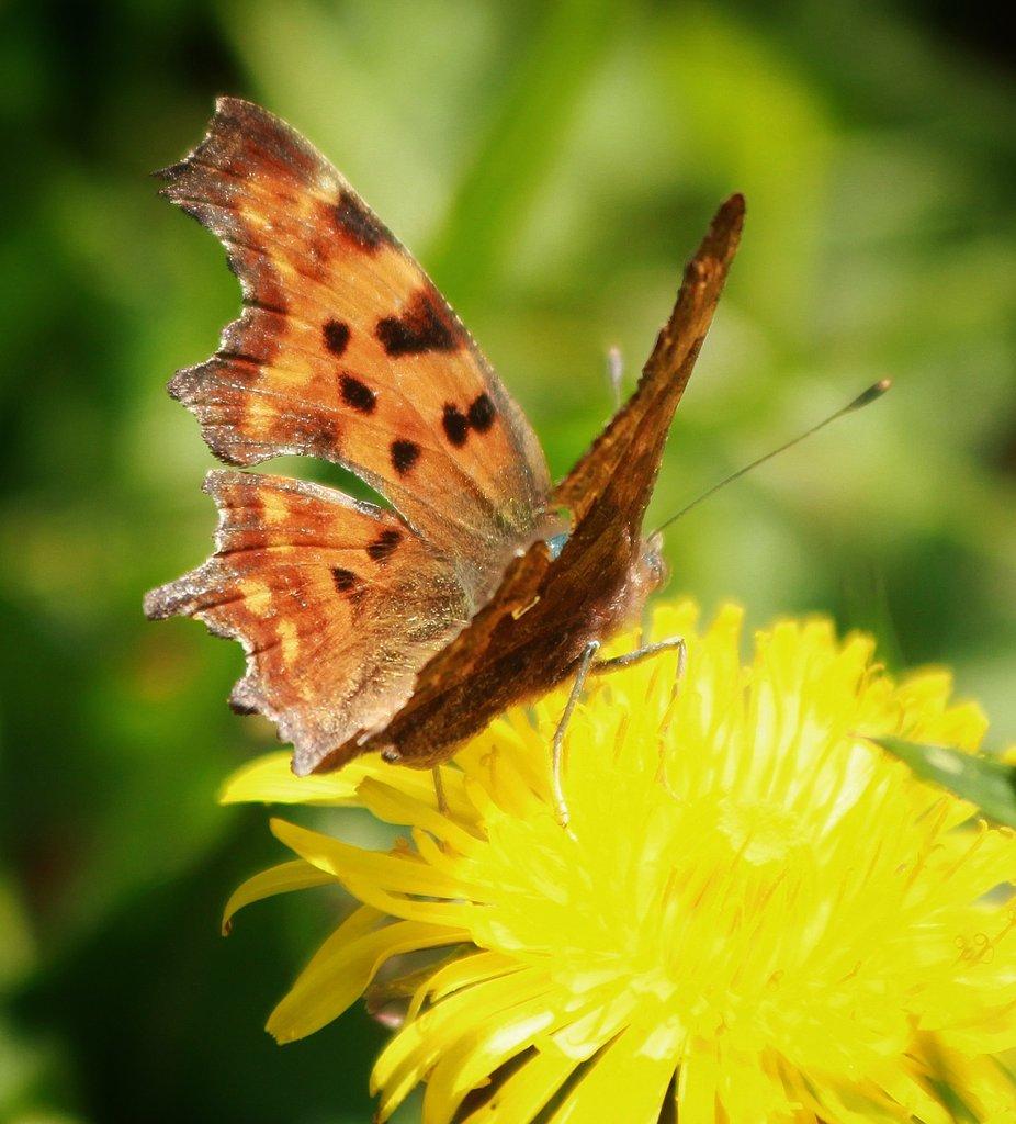 #januarivlindermaand @vlinderNL #gehakkeldeaurelia #ikdoemeepic.twitter.com/LDmbBaNGLD
