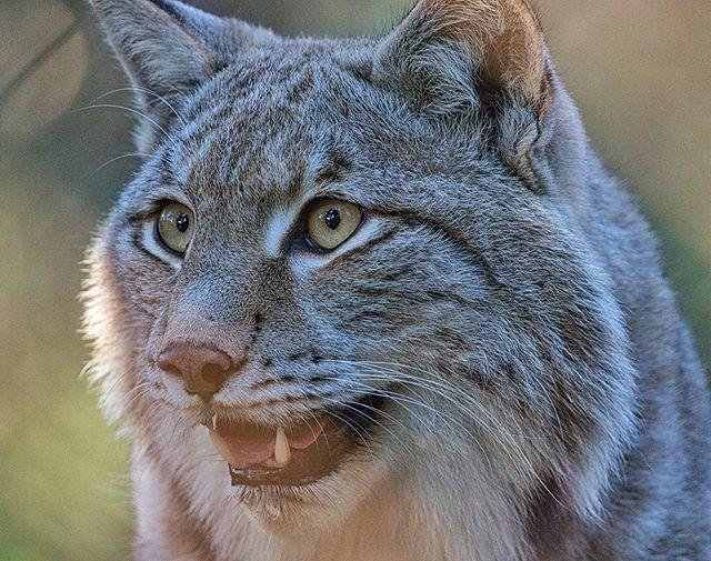Lynx  #photography #geoleserfoto #wildlife #tierfotografie #canondeutschland #canonphotography #bestanimalpics #hobbyfotografie  #canonphoto  #animals #canonfotografie  #bielefeld #fotoshooting #zoophotography #instazoo #everything_animals #animallove #p… https://ift.tt/38dnWaPpic.twitter.com/s0SZyGgvAi