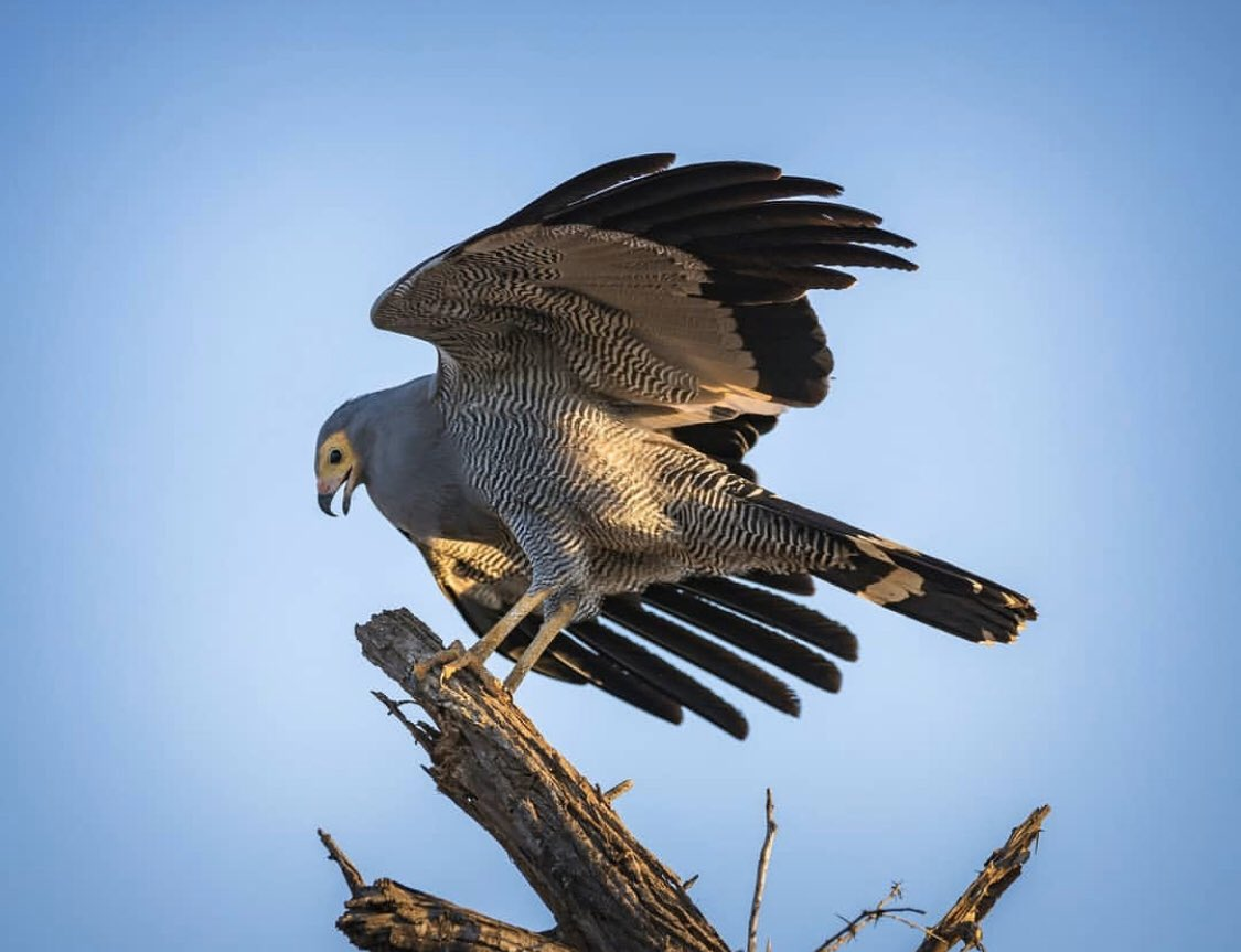 DID YOU KNOW: The African harrier hawk's most unusual behavior is that it blushes. Unexpected disturbances and encounters with other hawks can trigger the face, which is normally pale yellow, to blush a deep red.pic.twitter.com/ZsX0yIdOrc
