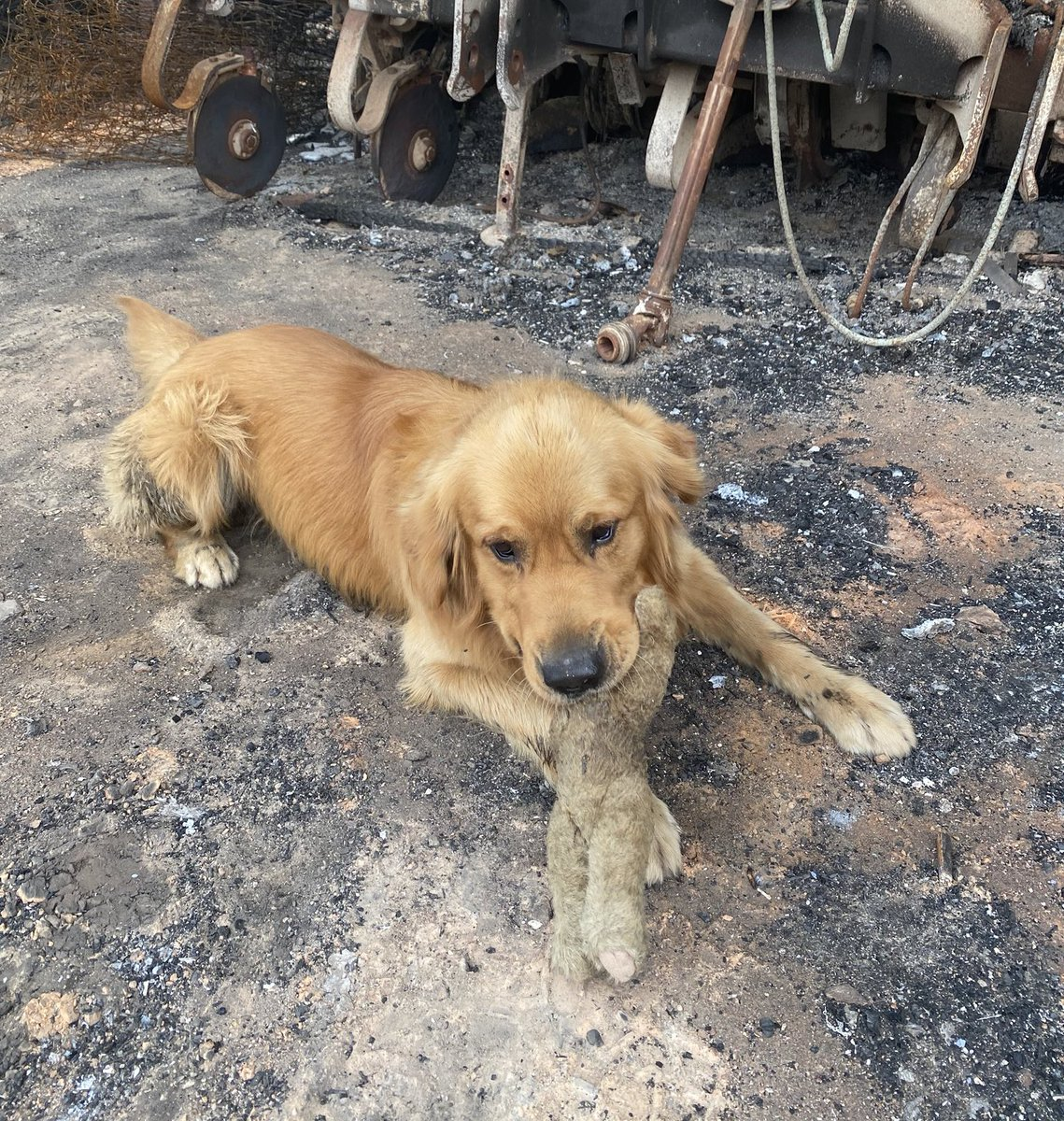 This is OJ. After safely evacuating, him and his family returned to their home in Wairewa, Australia yesterday to find it entirely destroyed by the fires. But amongst the rubble, OJ found his favorite toy had survived. 14/10 never letting it go again
