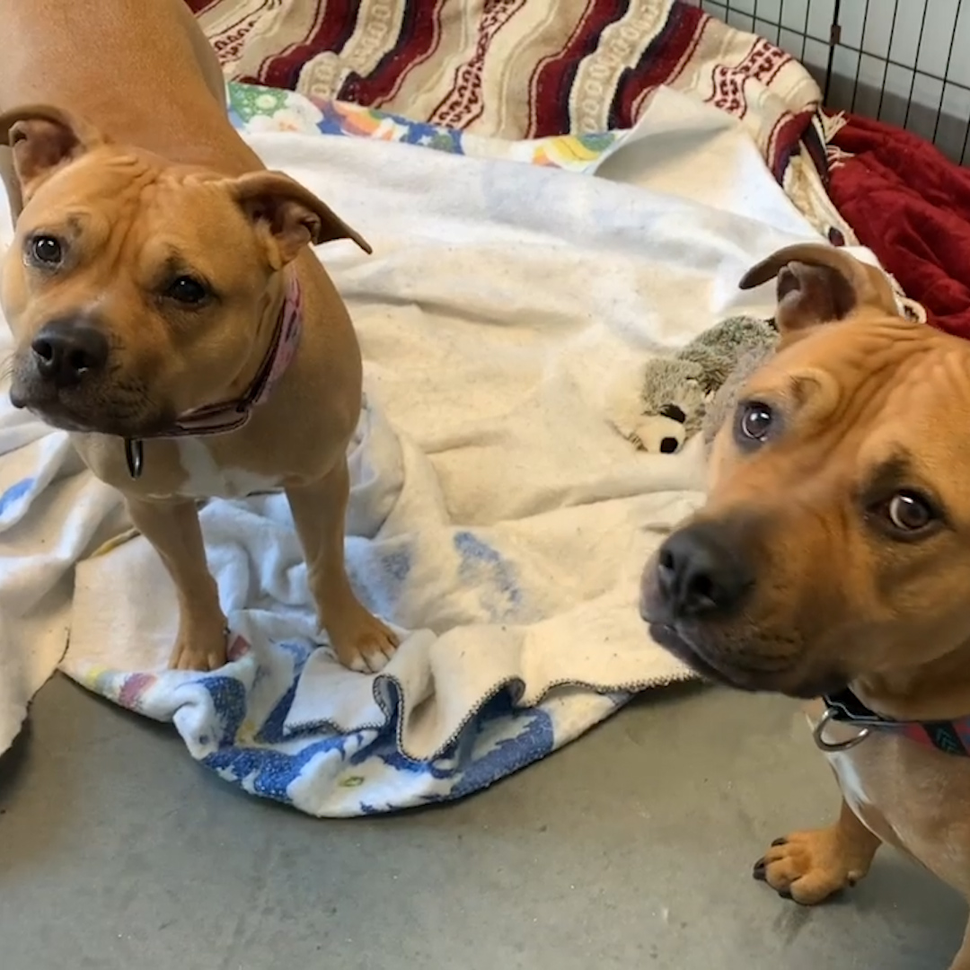 This bonded pair of pitties needs a home with enough love for both of them 🐶❤️🐶