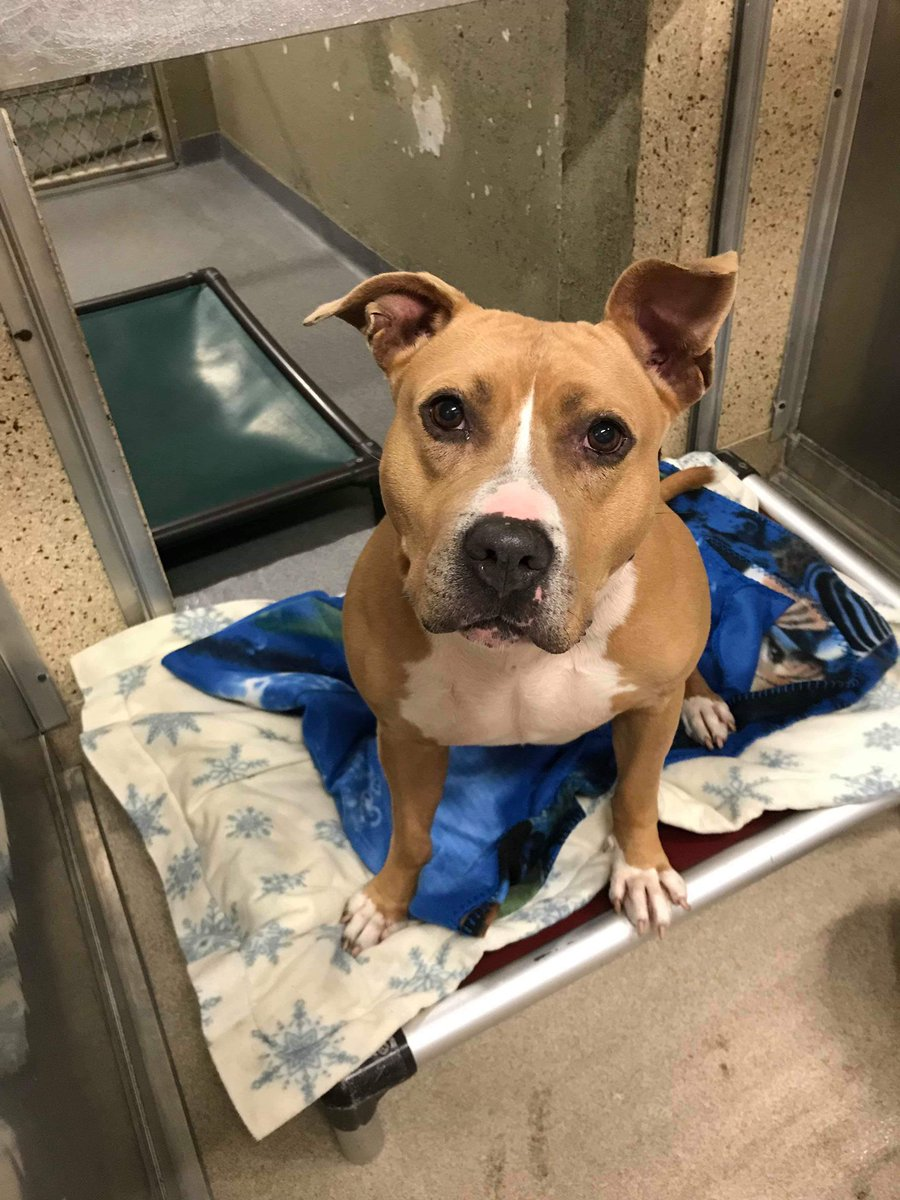 Introducing the Town of Hempstead Animal Shelter's LONGEST resident..Lexi Mama. Most of her life has been spent in the shelter. 7 yrs old. Needs solo pet home. Requires time to warm up to people. Please retweet Lexi Mama! Wantagh, NY. #LongIsland #AdoptMe