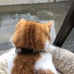 Image for the Tweet beginning: お外観察に夢中なライくん #猫の後頭部って可愛い