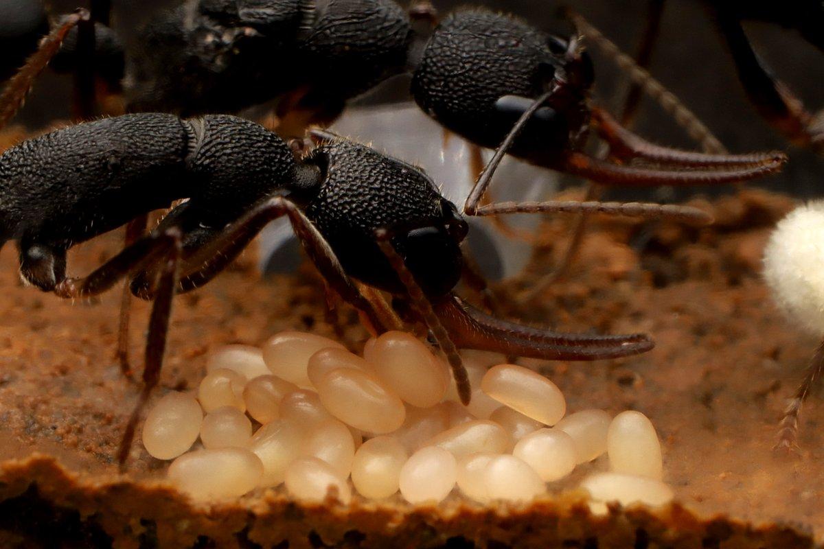 土で飼育中のクワガタアリ。働きアリが女王が産んだ卵の世話をしています。