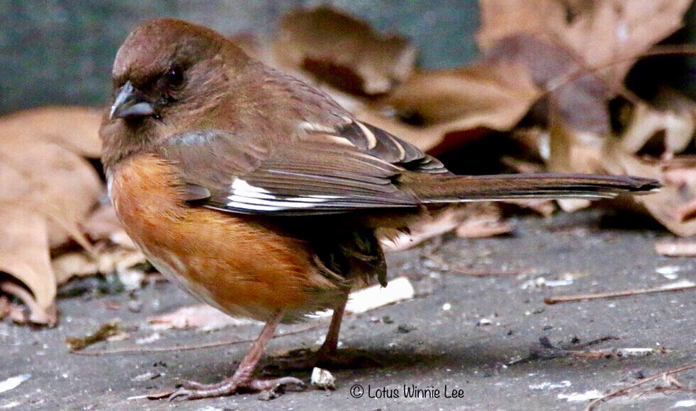Yesterday morning at Bryant Park... this female Eastern Towhee is making this park as her permanent home! #easterntowhee #birdwatching #wildlife<br>http://pic.twitter.com/NtggVQXkKE