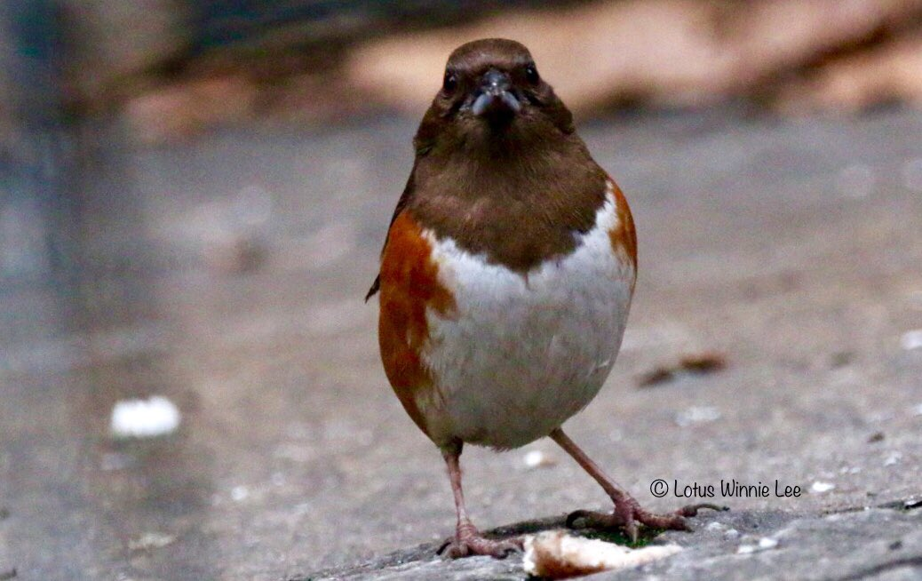 Another photo of the Eastern Towhee from yesterday morning at Bryant Park...  #easterntowhee #birdwatching #wildlife<br>http://pic.twitter.com/EqKvgFvXsZ