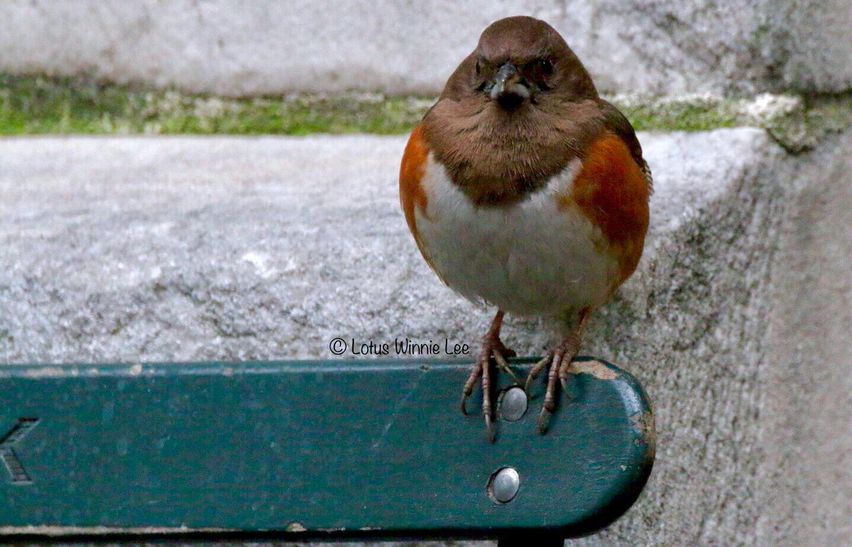 Yesterday morning at Bryant Park... one more photo of the female Eastern Towhee. I think she is pretending to be one of those statues you see in Egypt! #easterntowhee #birdwatching #wildlife<br>http://pic.twitter.com/1uTpoBbSNt
