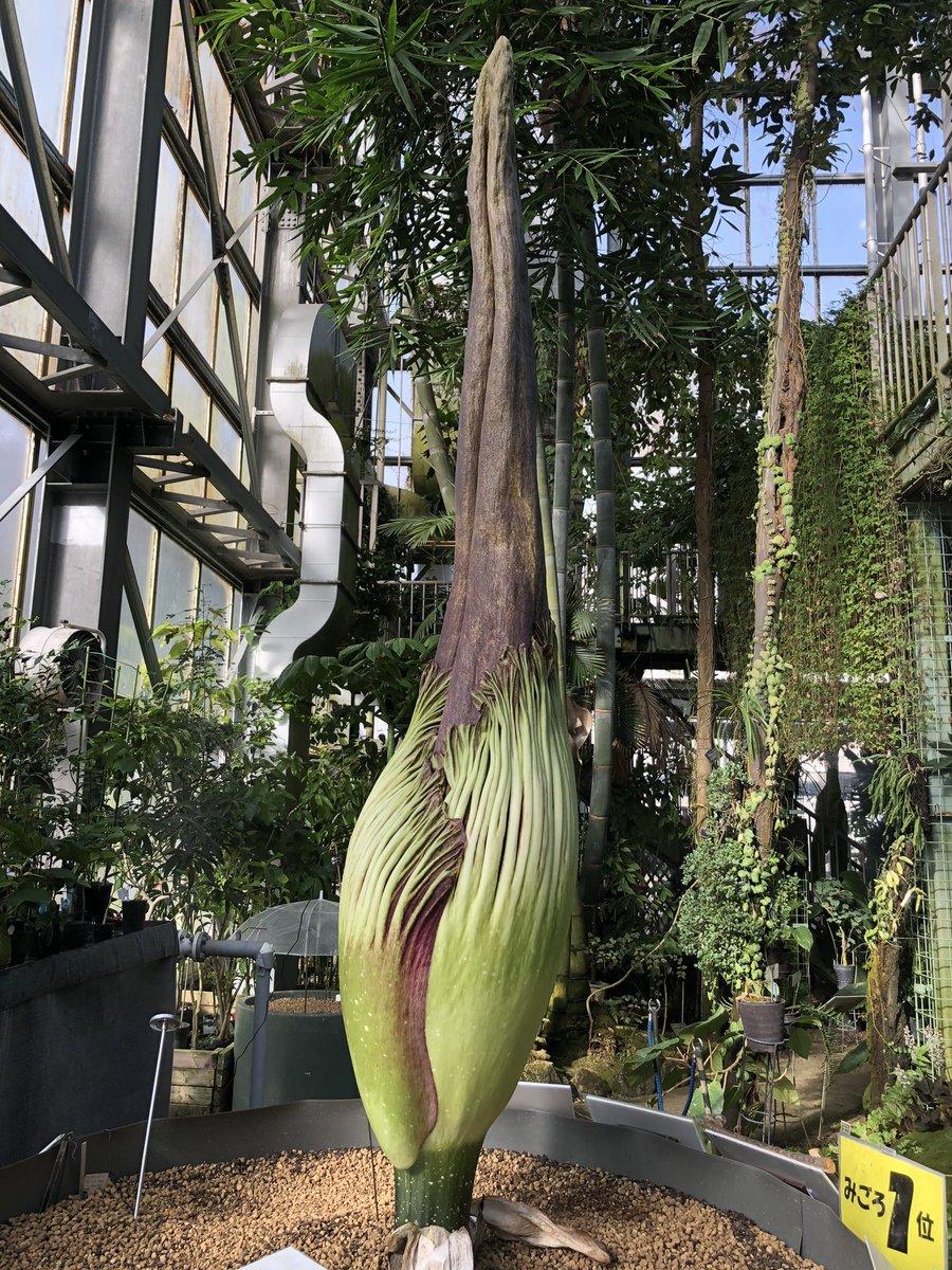 筑波実験植物園、現在のショクダイオオコンニャクの様子です。やはり明日が怪しい…
