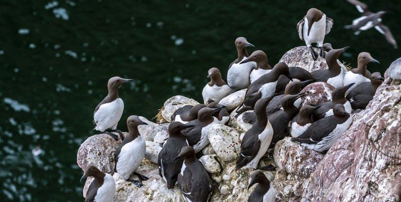 ⬜️ 2015~2016年に発生した熱波の影響で餌の確保が困難になり、北太平洋に生息する海鳥であるウミガラス約100万羽が餓死したとする研究結果が15日、発表された 鳥類ではこれまでで最大規模の大量死になるという… https://t.co/XFnpd4pwWa