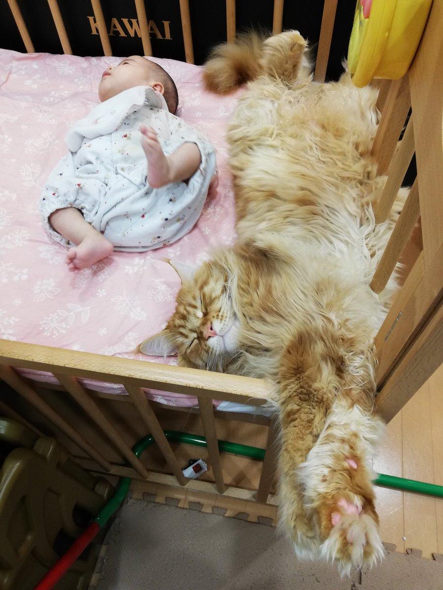 身長60cm弱の0歳児に頭をポコポコ蹴られても動じない体長120cmの巨猫🦁