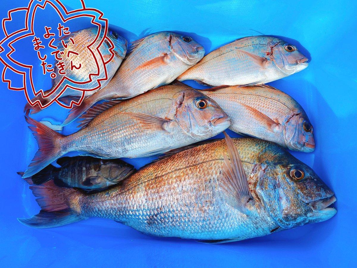 本日の釣果✨  真鯛1.3㎏&0.7㎏ 一つテンヤ真鯛釣り初めてやったけど難しかった〜でもその分釣れた時嬉しいし楽しかった〜 一緒に行ったお父さんは1番大きいので3.4㎏!!(写真2枚目) お父さんに勝つことが今日の目標だっ… https://t.co/s5OBfku5rO
