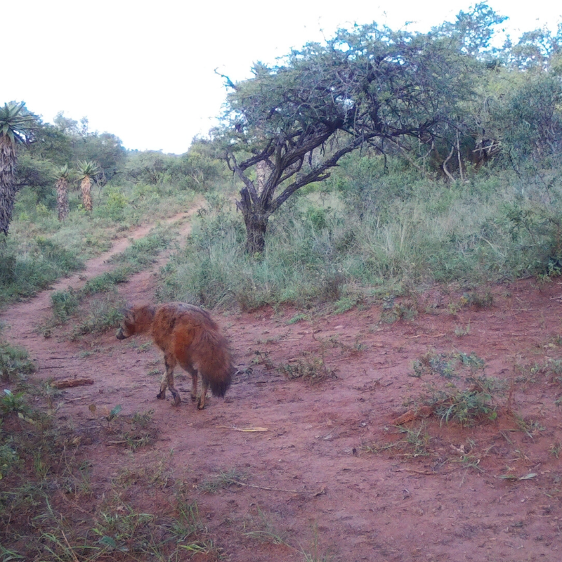 """This Aardwolf was caught on one of our camera traps. Did you know that its name means """"earth-wolf"""" in Afrikaans and Dutch? #AHC #ZuluRock #wildlife #wildlifephotography #photography #southafrica #travel #tourism #satourism #hellosouthafrica #aardwolf #cameratrapspottingpic.twitter.com/b6GZhdFRqW"""