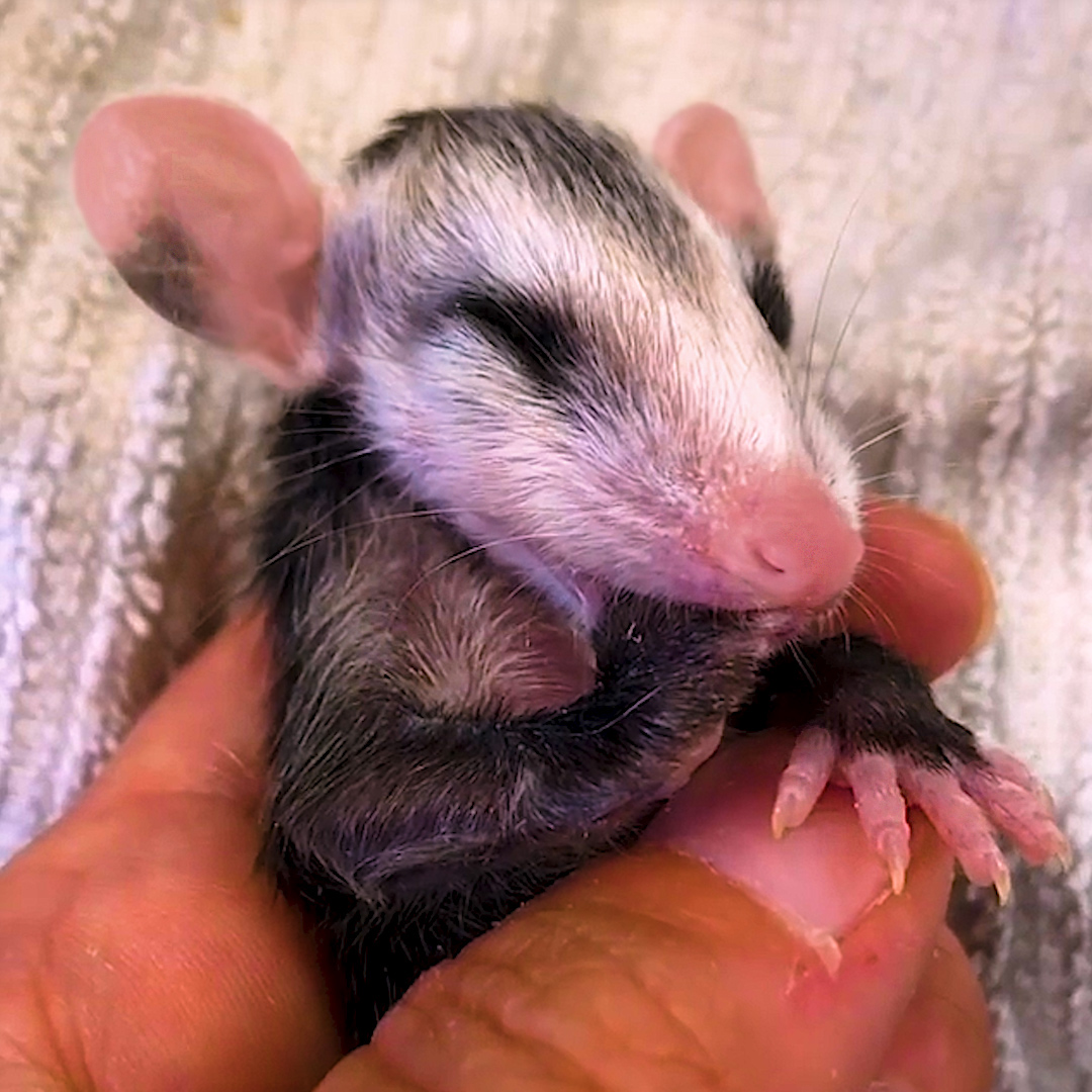 Watch these teeny opossums grow up and run back to the wild ❤️️