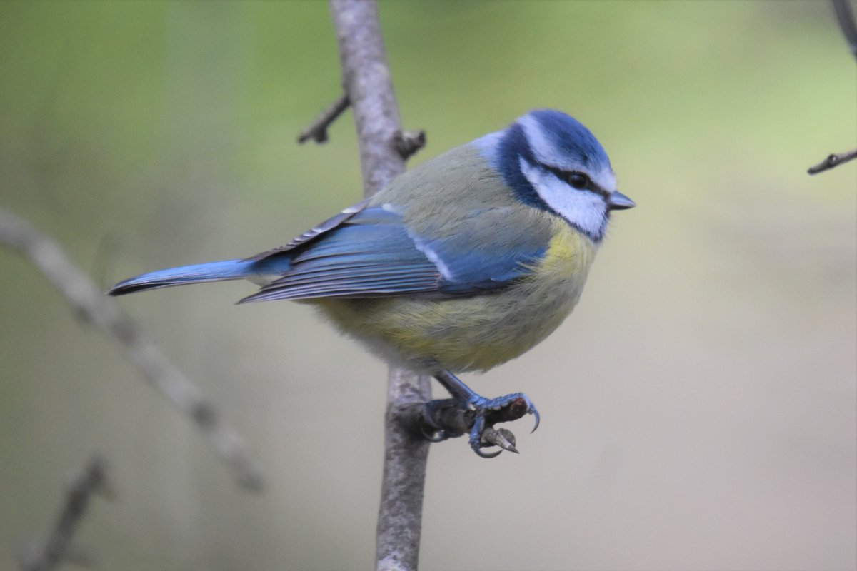 This blue tit was one of a group, roving across the hedgerows of #Clackmannanshire earlier this week <br>http://pic.twitter.com/yK0q56w42d