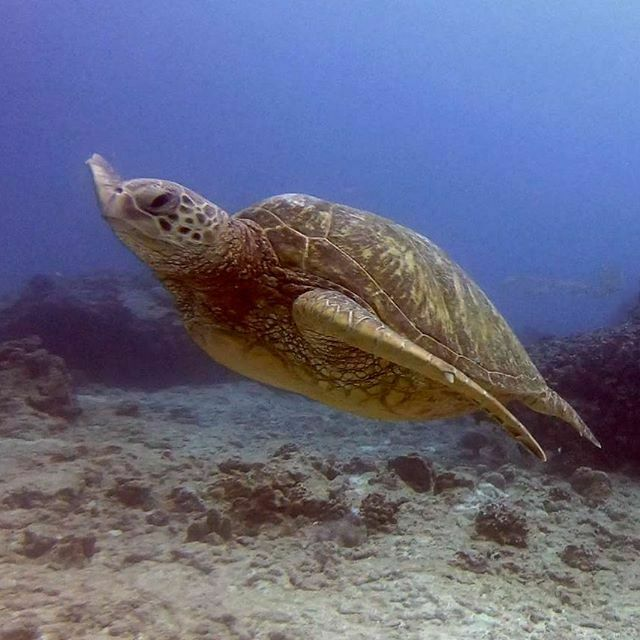 KGoetz2005 : Beautiful turtle ! #Hawaii #scuba #Gopro #diving with #turtle #seaturtle #divingday #flyturtle #turtlethursday #greatdivingday #greenseaturtle #divingisgreat #beautifulturtle #turtletour #divingexperience hawaiiscubadiving … https://twitter.com/KGoetz2005/status/1217823674868346880 …) pic.twitter.com/m4Nbuyavmh