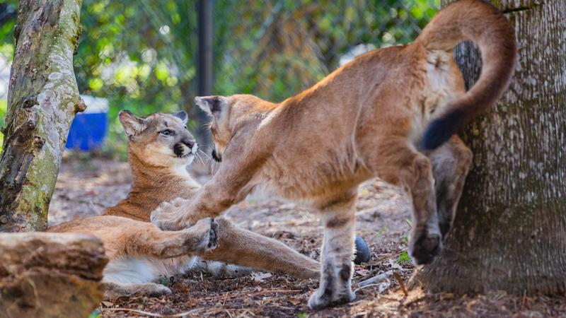 Two rare FL panther kittens have found refuge at @whiteoakconser. bit.ly/2toEVIl
