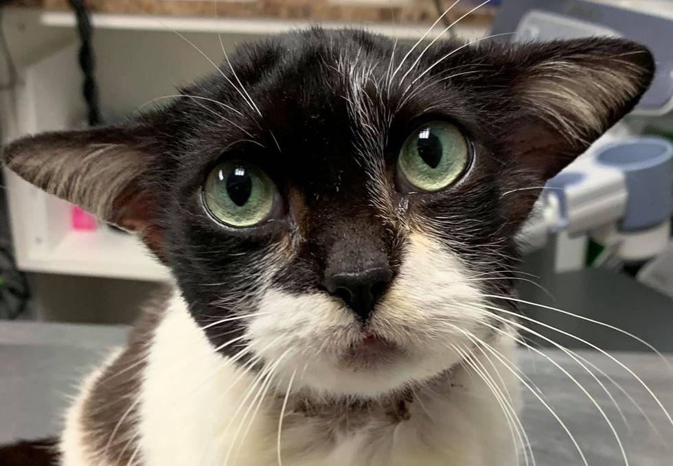 保護されたヨコミミのネコさん。傷の治療をしているクリニックのスタッフは、名前のない彼女のことを「ベビーヨーダ」と愛を込めて呼んでいるとのこと。素敵な家族が見つかるといいなぁ。