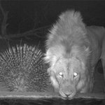 Image for the Tweet beginning: Nocturnal visitors to our waterholes