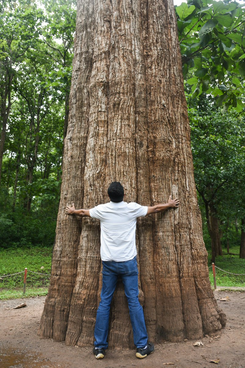 One of the world's largest living teak trees is found at the Parambikulam Tiger Reserve, with a fantastic height of 39.98 m, and girth of 7.15 m. Tribals worship the tree as Kannimara or 'Virgin Tree'. It has been awarded 'Mahavriksha Puraskar' by the Government of India.