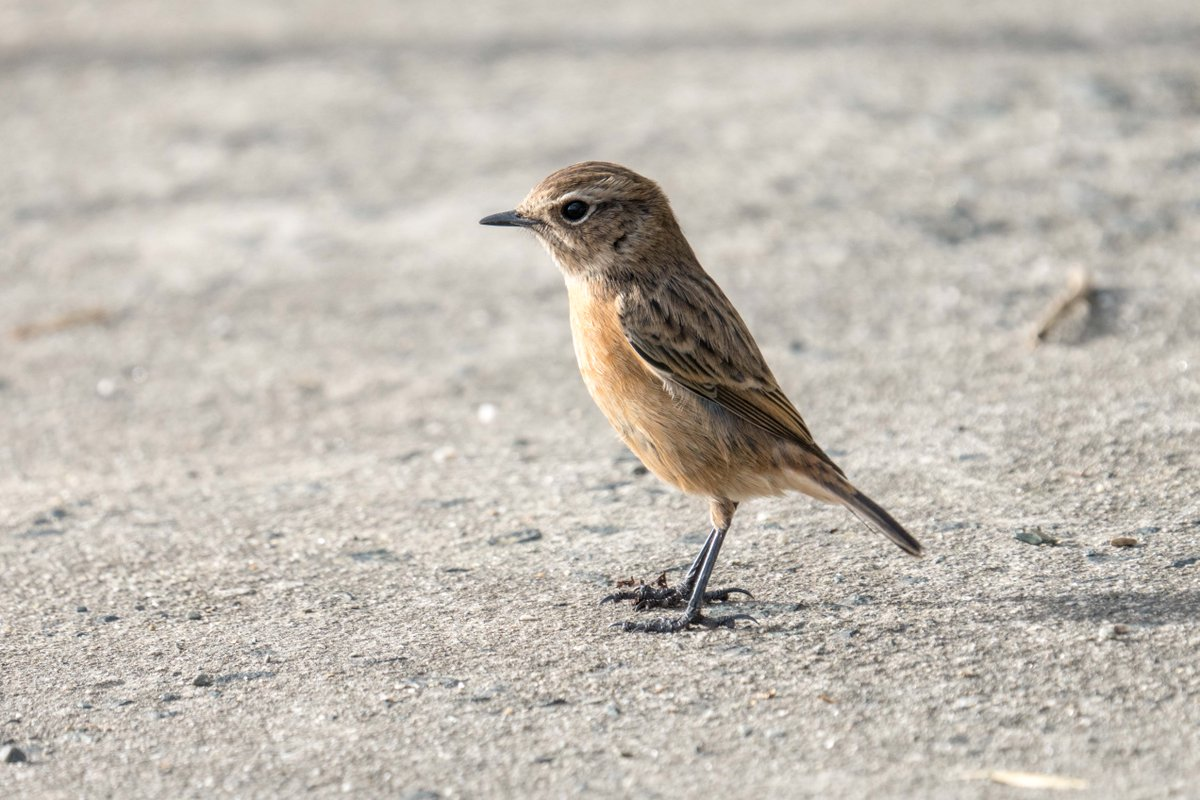 Stonechat, looking a bit like a mechanical wind up toy.<br>http://pic.twitter.com/KKJcoVY0kd