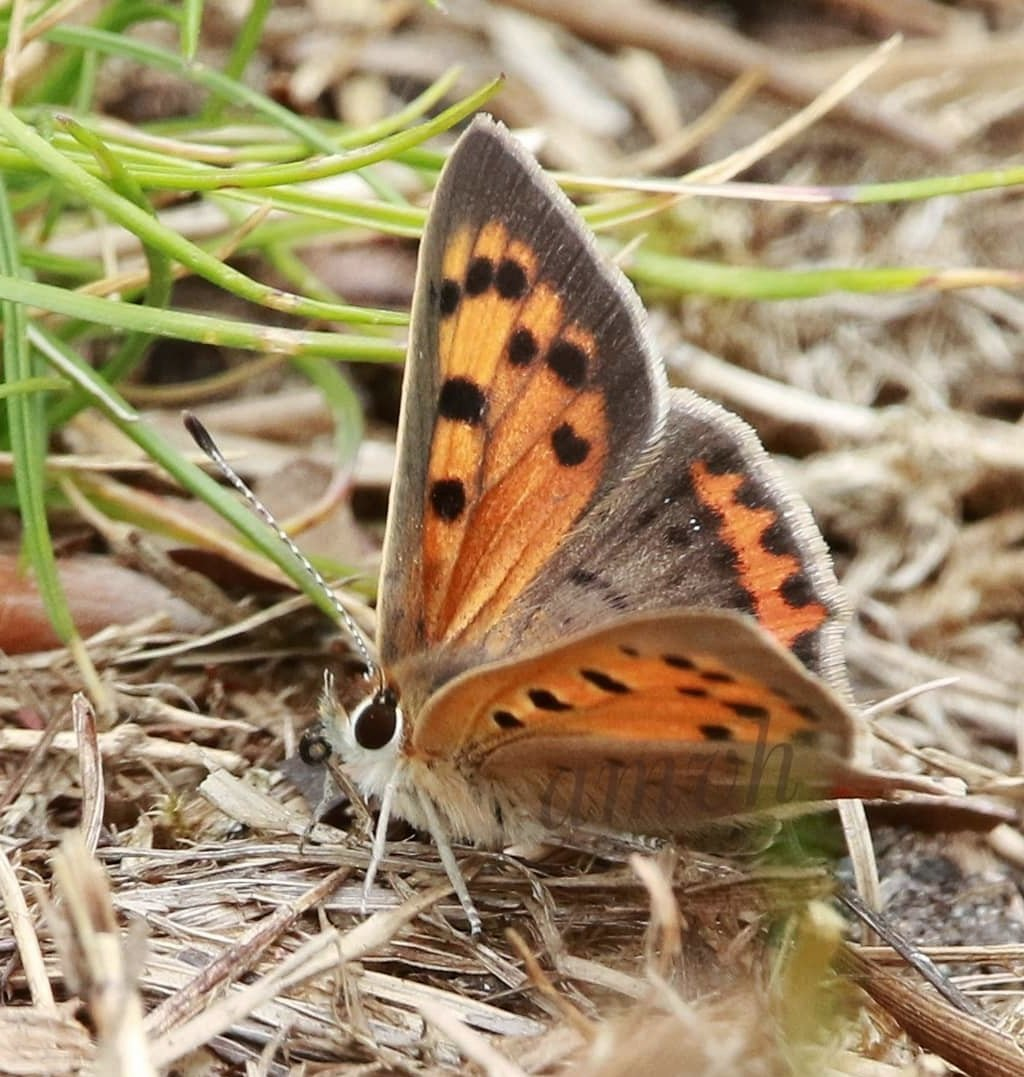 #januarivlindermaand #kleinevuurvlinder @vlinderNL @NathalieNatuur Zo'n mooi vlindertje, ik ben gevallen voor de mooie oogjes pic.twitter.com/tI9LTOINKJ