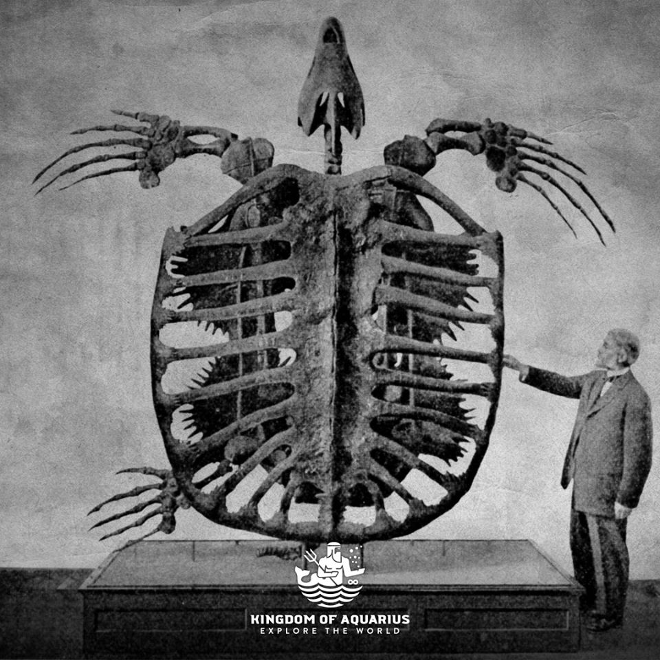 OCEAN NEWS The skeleton of the largest sea turtle that ever existed - Archelon Ischyros, who lived 66-83.6 million years ago. The largest specimen found was 460 cm from head to tail, 400 cm from fin to fin and weighed 2200 kg.  #KingdomOfAquarius #exploretheworld pic.twitter.com/pO0VhkBvLp