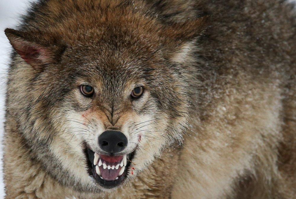 волк казахстан картинка меняется вкус напитка