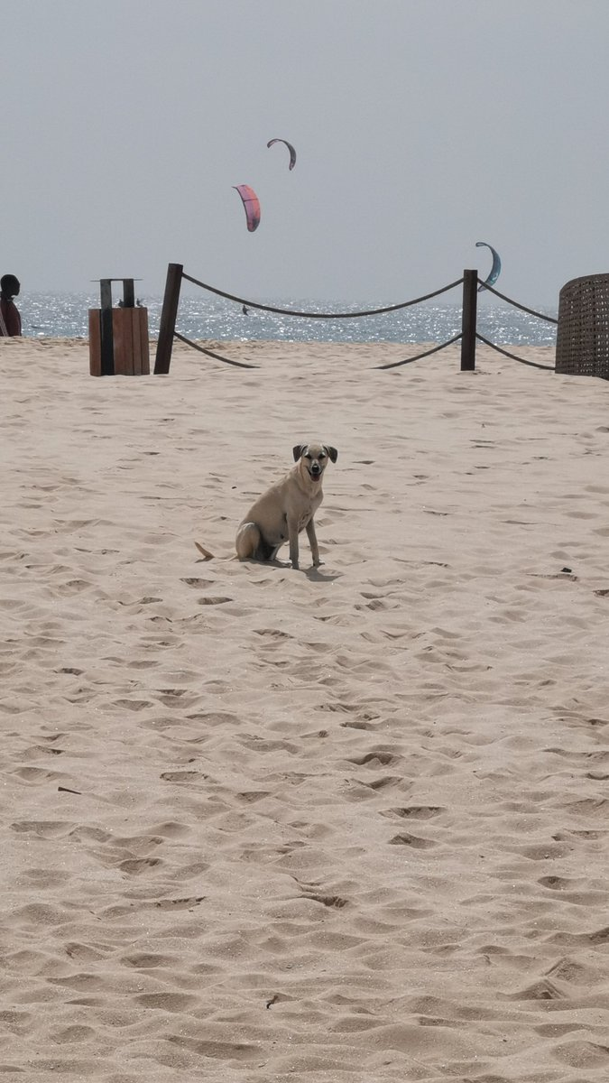 The street dogs of Sal, Cape Verde break my heart. Its a good job I don't have a lottery win to build a big beach house and keep them all with me and look after them, feed them, boop their noses. Such gorgeous animals <br>http://pic.twitter.com/s0DV811bQ3