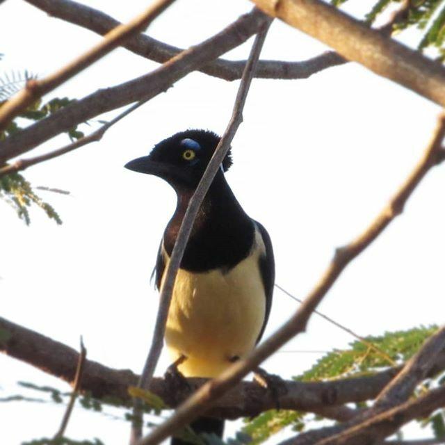 Gralha-picaça (Cyanocorax chrysops) uma das mais belas aves do Brasil!  #coapantanal #coabrasil #birdwatching #birdphotography #birdwatchingphotography #birds #aves #avesdobrasil #avesbrasil #nature #naturephotography #wildlifephotography  #corumbaincriv… https://ift.tt/37eTdK4pic.twitter.com/ORJsFcUsIq