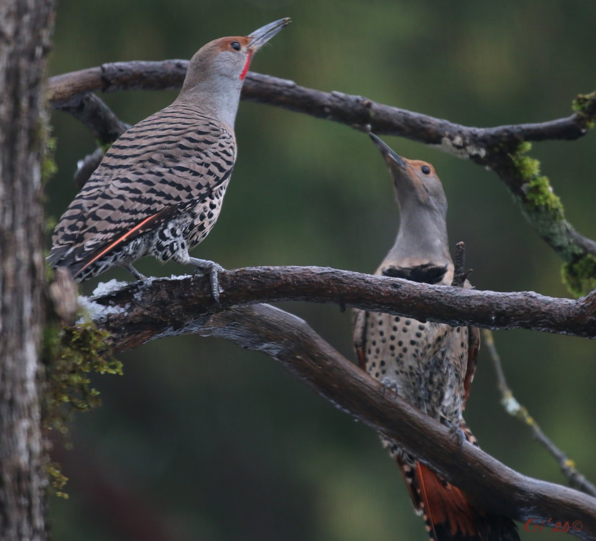 #Click4Full - worth it  Flicker Wars!  Mr. Northern Flicker found the suet & Ms. Flicker would like him to know he can F the F off and find his own F-ing suet source!  #becurious #BeKind<br>http://pic.twitter.com/wdlPa4P8mO