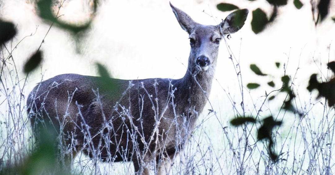 Happy Friday! Beautiful Mule deer spotted on the Discovery hike. by volunteer John H! #keepitwild #OCParks #muledeer <br>http://pic.twitter.com/dZRldCgqPQ