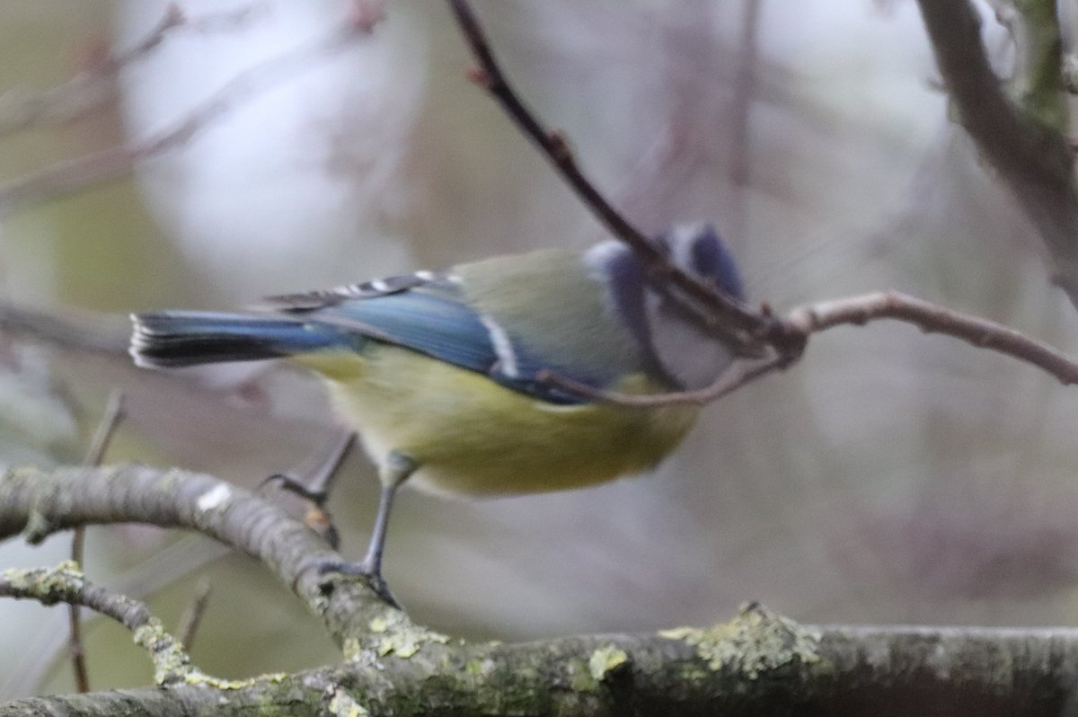The wind has turned very gusty. This little Blue Tit is jumping around trying to find a stable perch <br>http://pic.twitter.com/LGAbQ40fo6