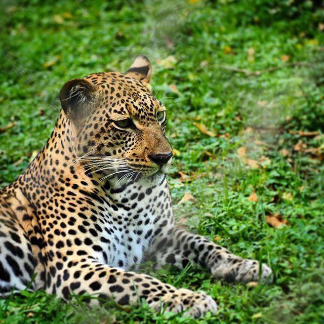Today, our #Kisumu #adventures led us to find a ferocious grumbling #Leopard at the #impalasanctuary  #kenya #Africa  #canadianinkenya https://ift.tt/2NCfxWu