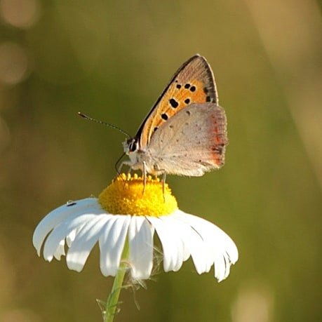 #januarivlindermaand #ikdoemee @vlinderNL @NathalieNatuur #kleinevuurvlinder #bloemenvlinderpic.twitter.com/dMKW4X3vPn
