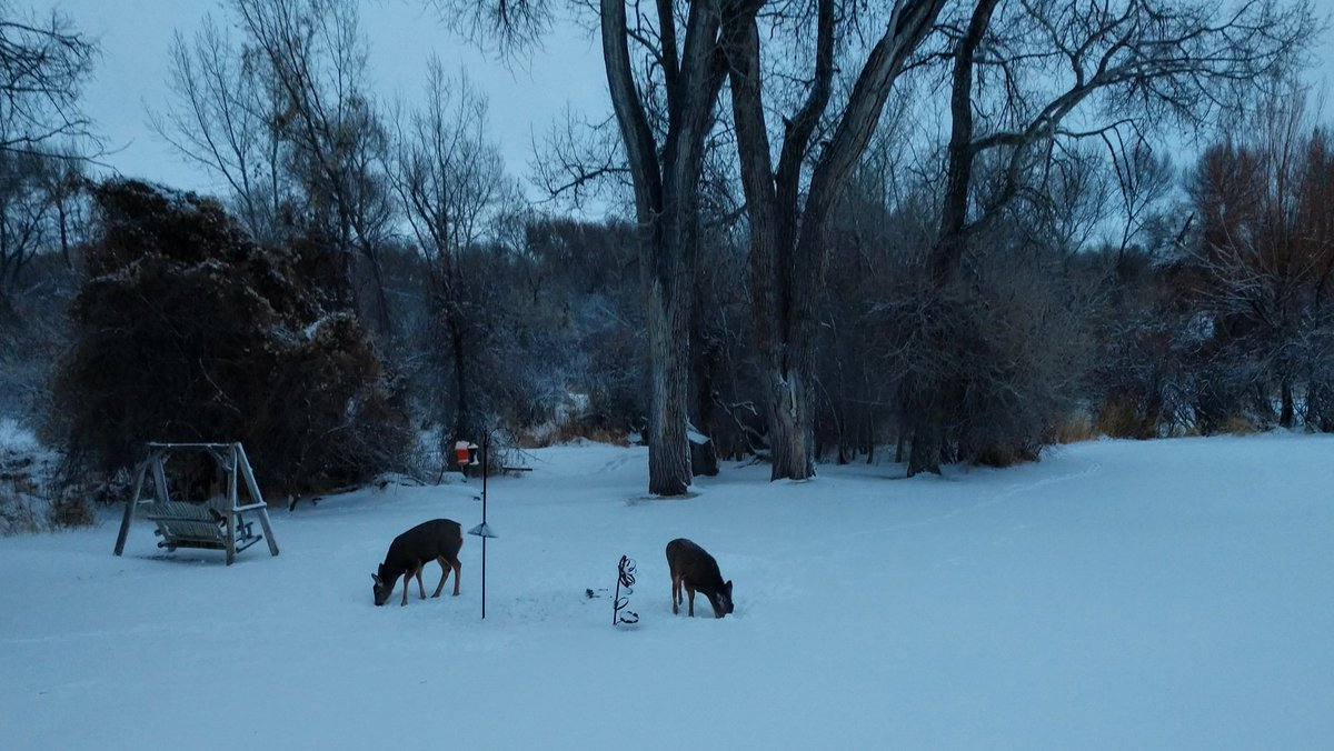 """BG-16: Right now 27°F, sustained winds at 24 mph with gusts to mid-30's. Total 1 WK snowfall from last Fri to this AM: 18"""". Photo just at dawn, muledeer nosing thru snow for scattered sunflower seeds from bird feeders. <br>http://pic.twitter.com/PuCkvslwuk"""