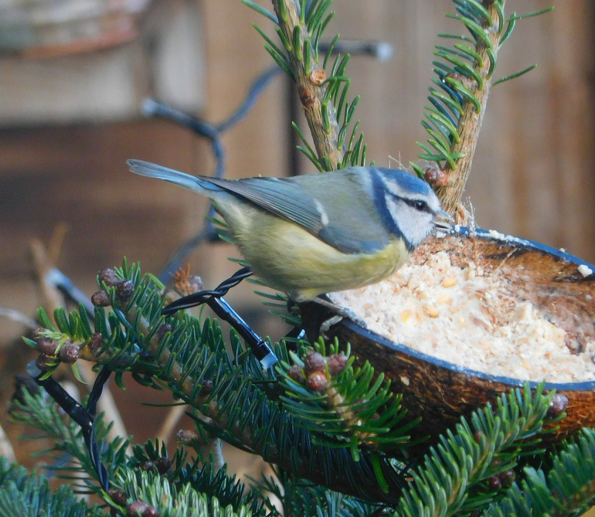 My potted Christmas from @UrbanPlantLife has now been repotted and placed in the garden. Blue Tit in for a feed. @rawbirds @Irishwildlife #Dublin  <br>http://pic.twitter.com/U0HTxThPfO