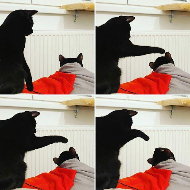 Bless you my child  . . . #bestmeow #meowbox #instakitty #instapet #blackcats  #catsofinstagram #blackcat #blackcatsofinstagram #catstagram #instacat #meow #blackcatsrule #catlover #kitty #catoftheday #catlovers #housepanther #catsofworld  #blackcatsmatter #minipanther #cha…pic.twitter.com/Kiw1B1e23H