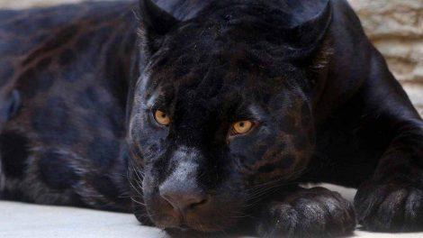 """""""Una pantera nera è saltata sul cofano"""", caccia al felino (pure con i droni) - https://t.co/QVtIRjjx5p #blogsicilianotizie"""
