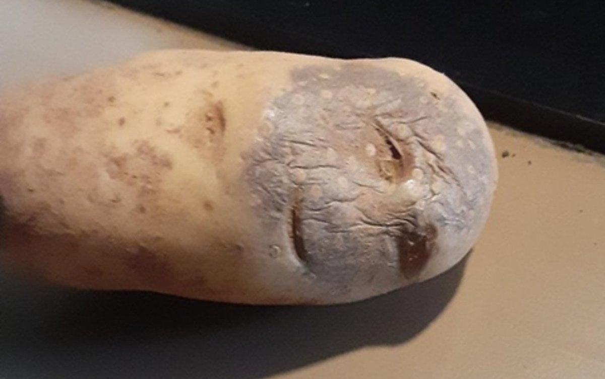 How many of you would vote for this stoned potato over Trump? 🖐