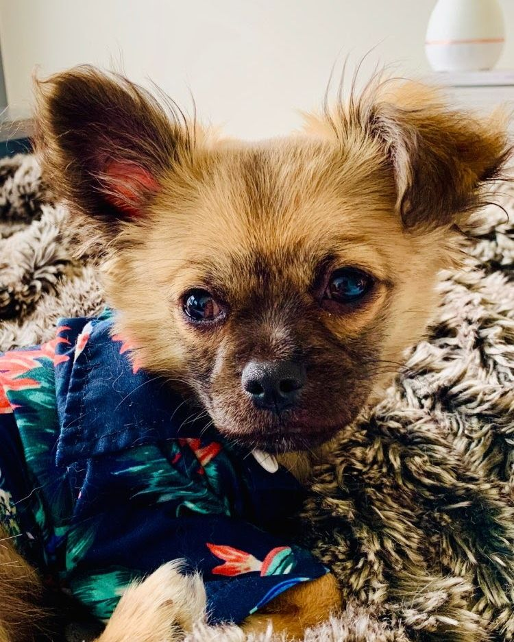 "Happy Casual Friday  Any fun plans for the weekend? This doggo's chillin' in our tropical shirt! Why not shop http://costumesforcreatures.com  for an ""aww""some time!? #casualfriday pic.twitter.com/RXzQd1EvR6"