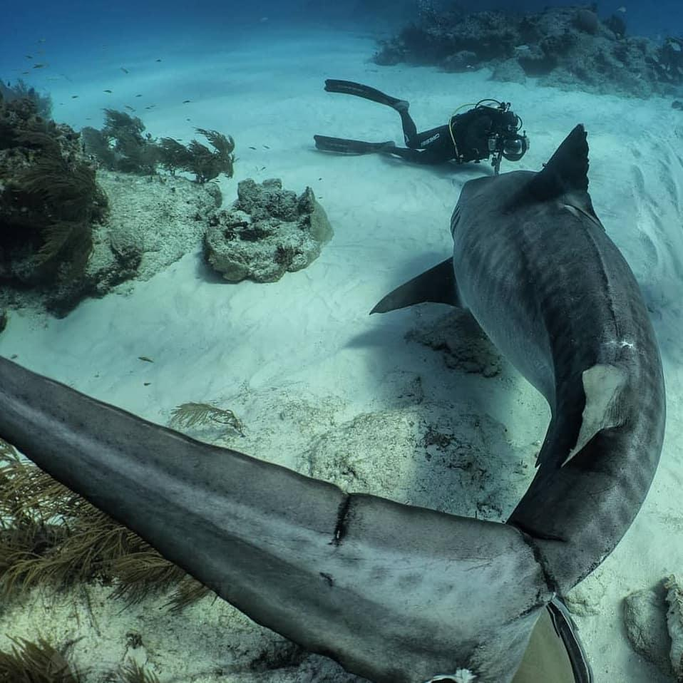 """http://balidiving.com """"That moment when I went face-to-face with the enormous Emma the Tiger Shark in the Bahamas."""" robertoochoahe : silenthunter_pty pic.twitter.com/NQPJPcH3Bs RT:PADI"""