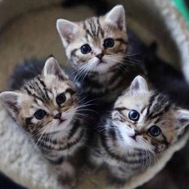 Triple cuties ...   #Cats #Cat #Kittens #Kitten #Kitty #Pets #Pet #Meow #Moe #CuteCats #CuteCat #CuteKittens #CuteKitten #MeowMoe  https://www.meowmoe.com/560342/triple-cuties-71/…   .pic.twitter.com/ssSLdaQwQB