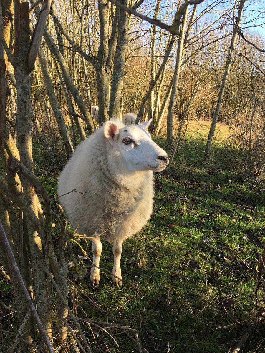 Looking for some sunshine this weekend....@minimotleyfarm @Ighthamlamb #sheep #farmlife #Kent #smallholdingpic.twitter.com/1WAdjRJ17T