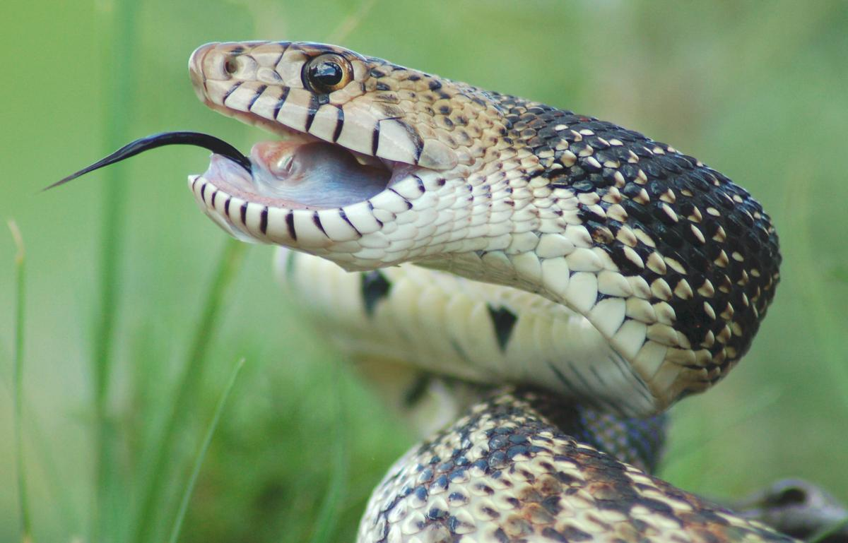 The best thing that you can do to help bull snakes is to let them live! Bullsnakes will eat approximately one rodent every 5-7 days. A #bullsnake on your farm or ranch is good for pest control!   #SARSweetTweet #AgLife #FarmLife #RanchLife #snakes  Image: https://petponder.com/bull-snake-facts…pic.twitter.com/enoEipJi0G